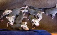 Opossum Babies