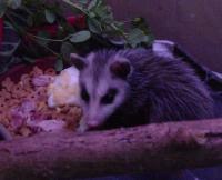 Opossum Juvenile