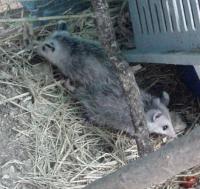Opossum habitat
