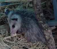 Opossum reproduction