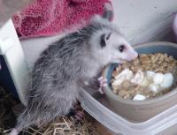 Opossum feeding