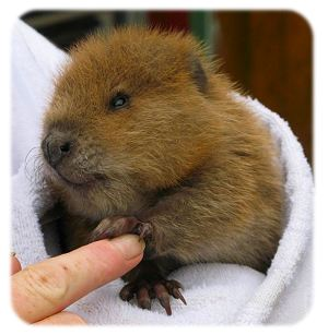 Rescued Beaver