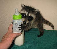 Pet Baby Raccoon
