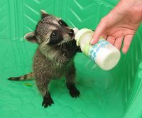 orphaned raccoon